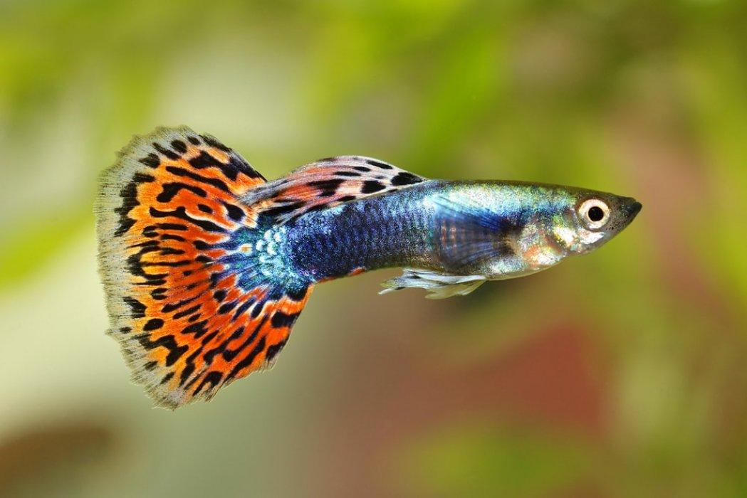 Breeding Pair of Guppies For Sale