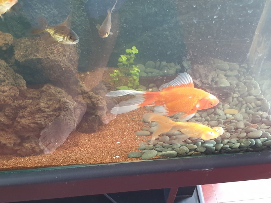 Beautiful Fish Tank With Gold Fish For Sale